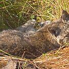 Lazy bobcat by Anthony Brewer