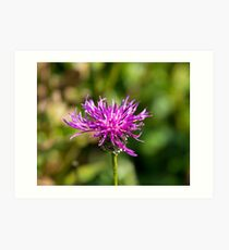 Greater Knapweed Art Print
