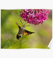 Hummingbird Hawk-moth Poster
