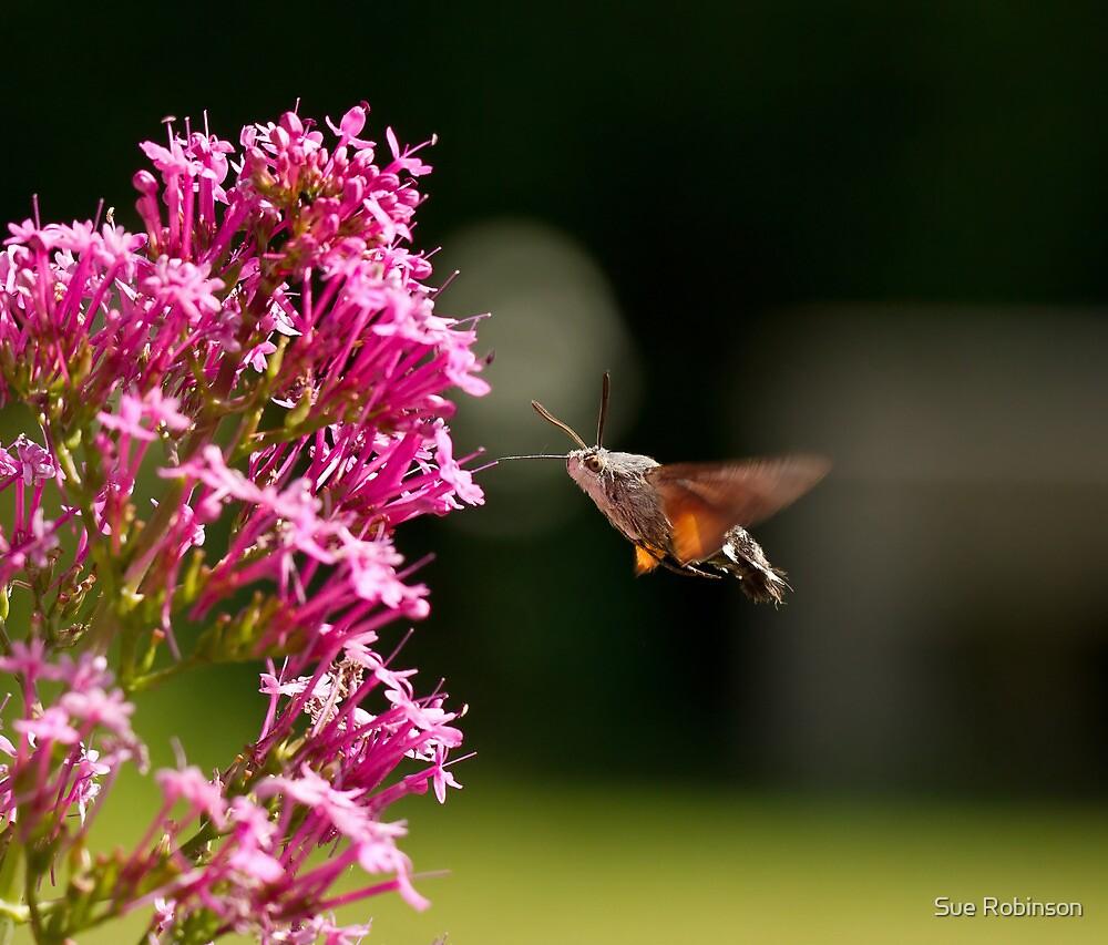 Hummingbird Hawk-moth by Sue Robinson
