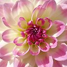 October Dahlia. by Lee d'Entremont