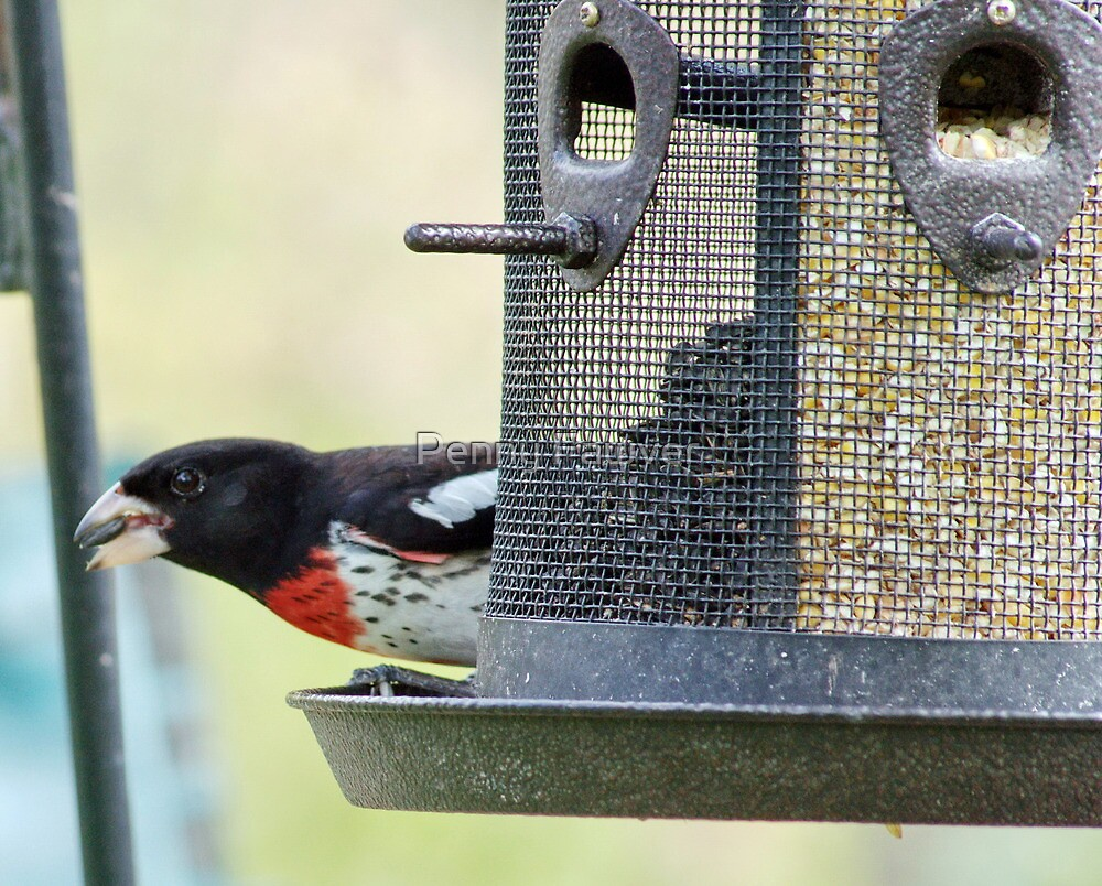 Rose Breasted Grosbeak by Penny Fawver