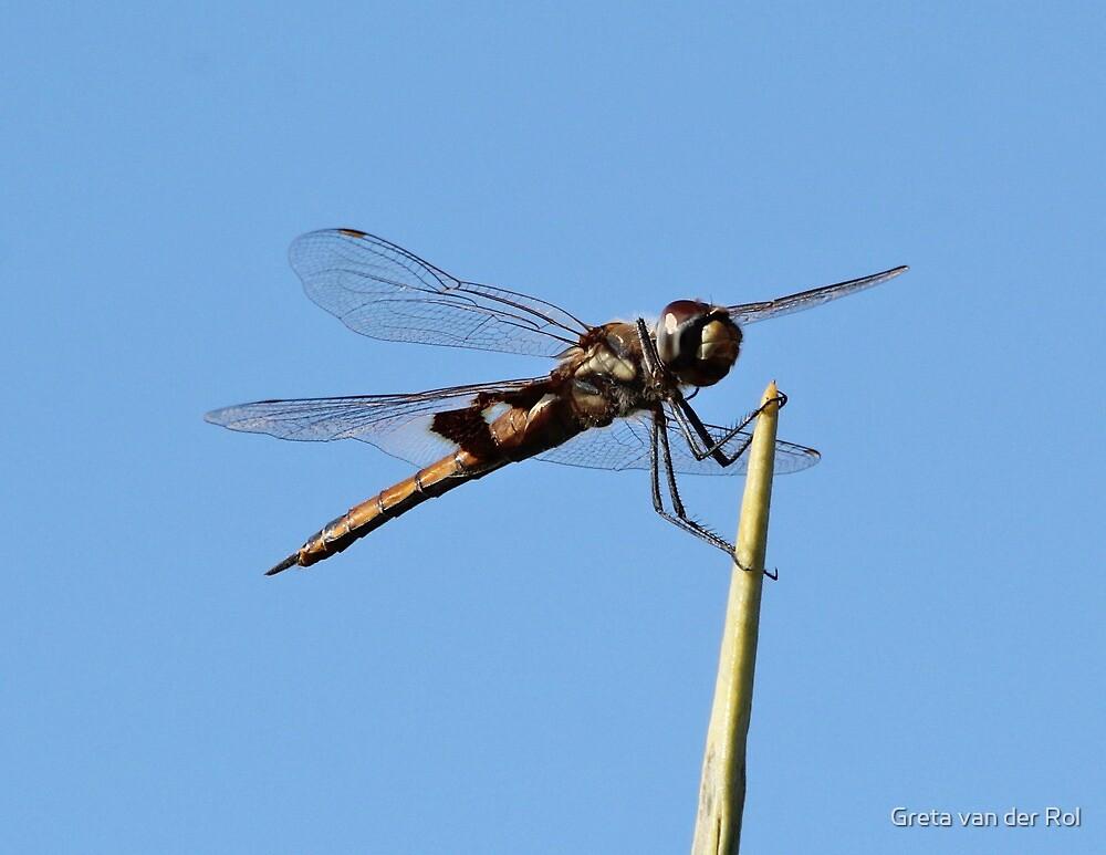 Dragonfly by Greta van der Rol