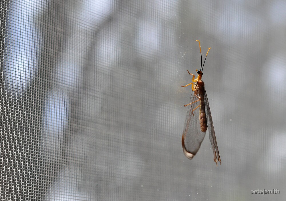 Lacewing on Wire by petejsmith
