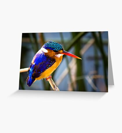 AFRICAN PIGMY KINGFISHER Greeting Card