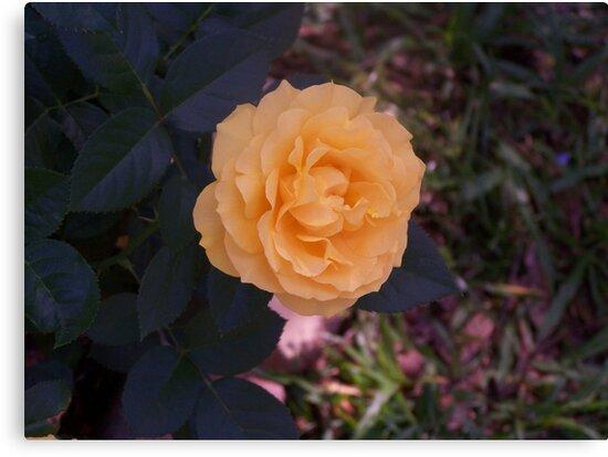 Peach Rose by alamarmie