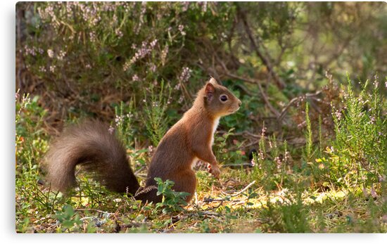 Red Squirrel 2 by borderingwild