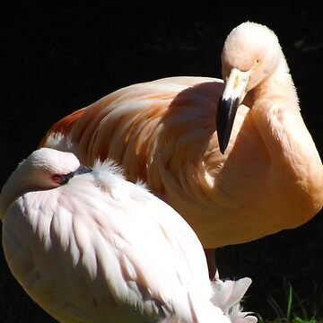 Chilean and Lesser Flamingos by PhotosByTrish