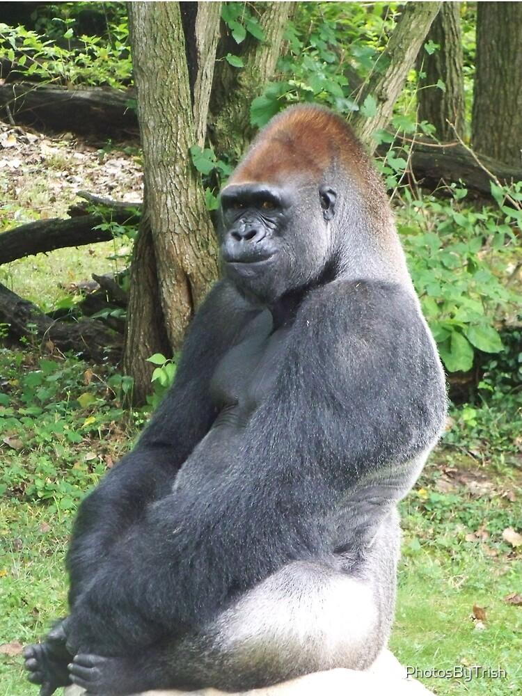 Male Silverback Lowland Gorilla at Kansas City Zoo 2 by PhotosByTrish