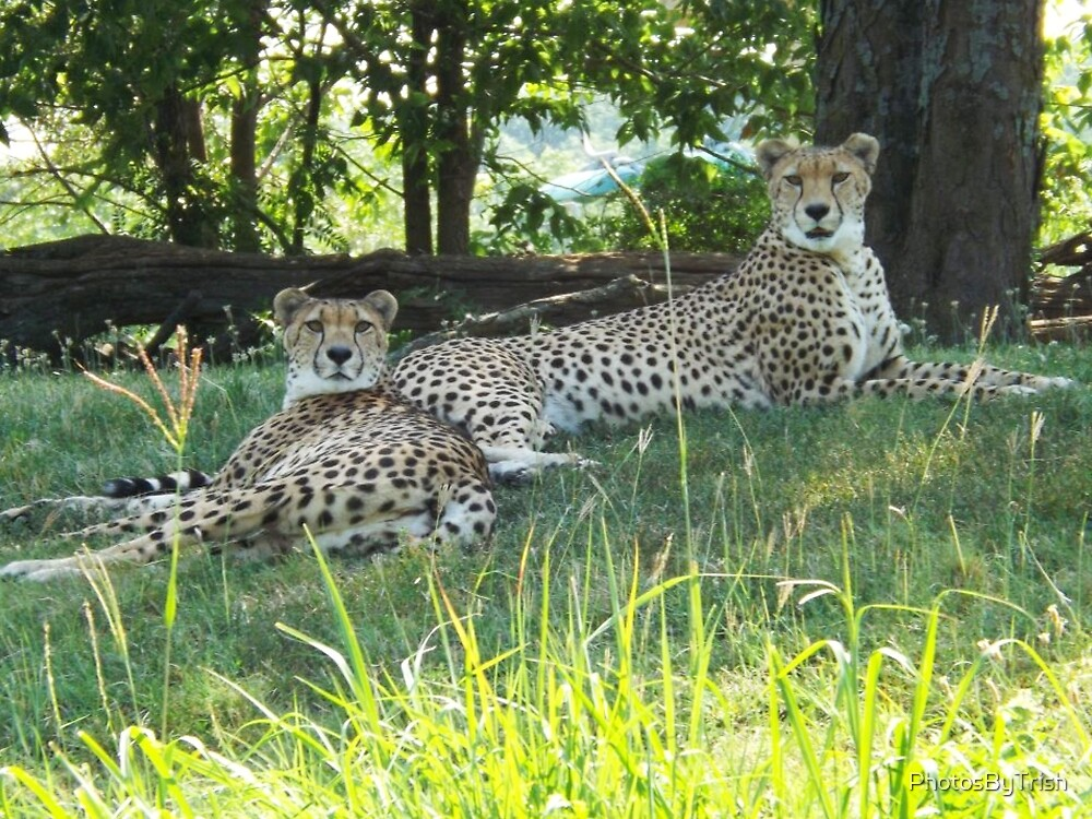 Two Cheetahs Lounging in the Shade by PhotosByTrish