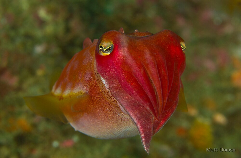 Pinnacle Cuttlefish by Matt-Dowse