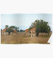 Rothschild's Giraffes Feeding, Lake nakuru, Kenya Poster