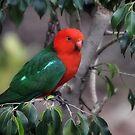 King Parrot-2598 (Alisterus scapularis) by Barbara Harris