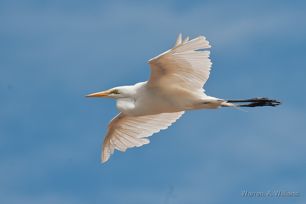 Fly bye Egret by Warren. A. Williams