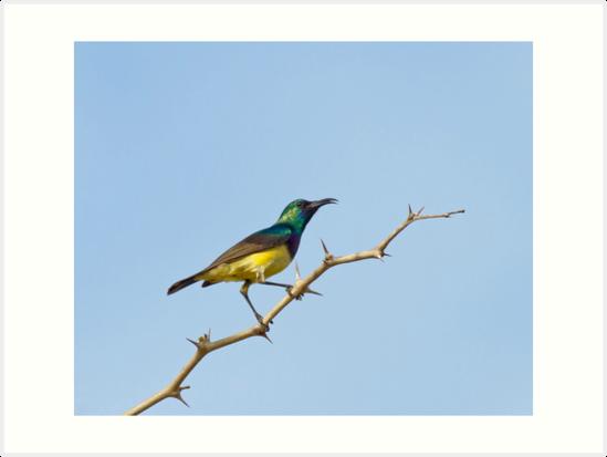 Variable Sunbird by Sue Robinson