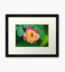 Tri-Color Rose Framed Print