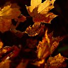 Autumn Maple Leaves by Kent Nickell