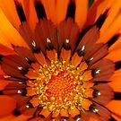 Orange Gazania by Eve Parry