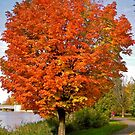 Maple Tree by Shulie1