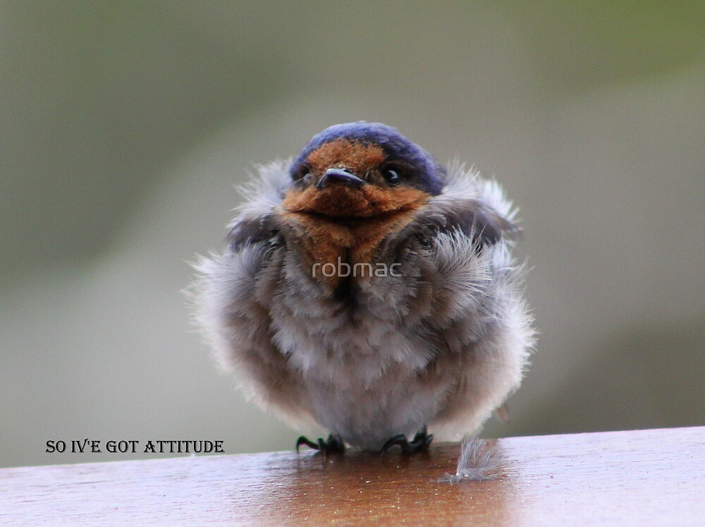 Young Swallow for Calendar by robmac