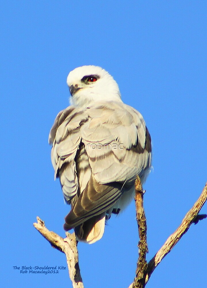 The Black -Shouldered Kite by robmac