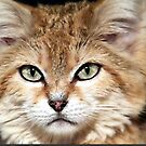 Arabian Sand Cat! by naturelover