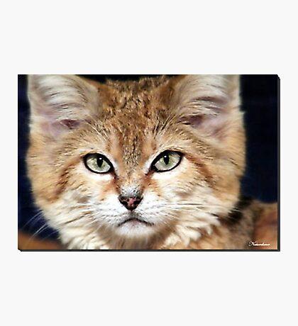 Arabian Sand Cat! Photographic Print