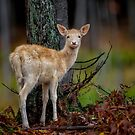 Fallow Deer by Daniel  Parent