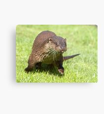 Ottering about Metal Print