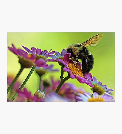 Bumble Bee and Beautiful Marguerite Daisies Photographic Print