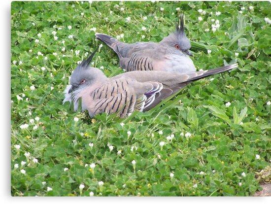Crested Pigeons - Australia by shortshooter-Al