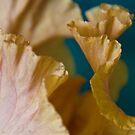 Frilly Iris by picketty