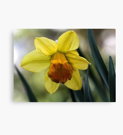 First Spring Daffodil - Bridgton,  Maine Canvas Print