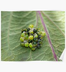 Common Green Shield Bugs hatching Poster