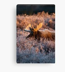 Moose Glow Canvas Print