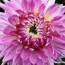 Pink Dahlia 2 by Jess Meacham