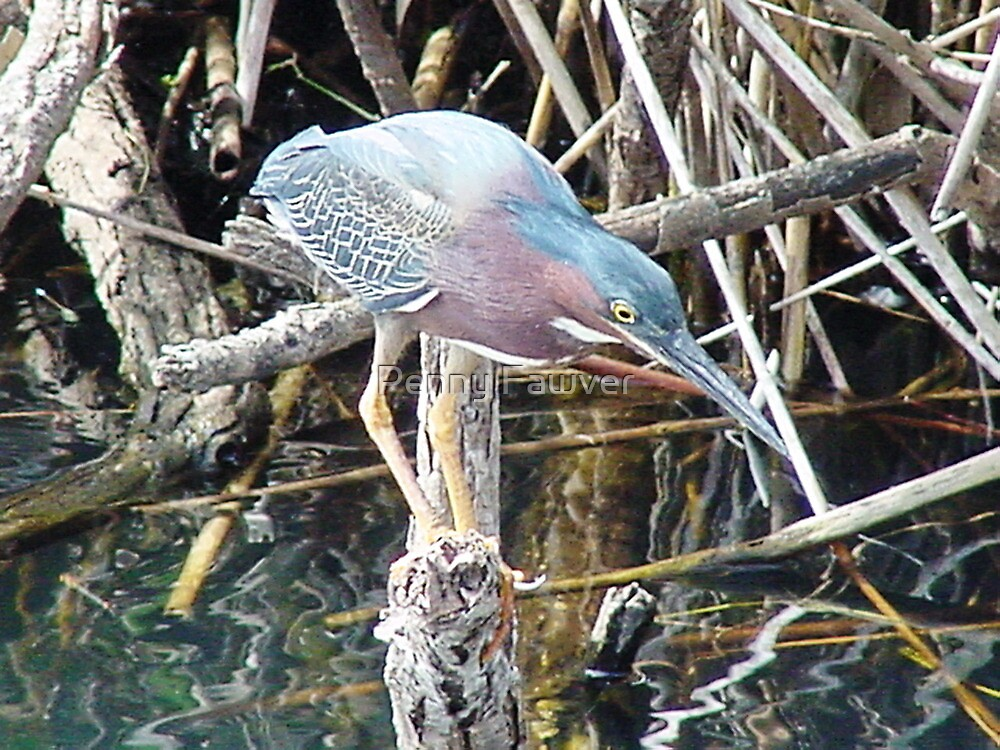 Green Heron by Penny Fawver