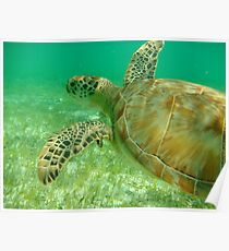 MCC Turtle Great Barrier Reef Poster