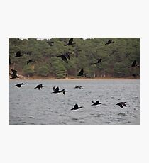Cormorants Photographic Print