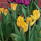 Time for Tulips by Jane Neill-Hancock