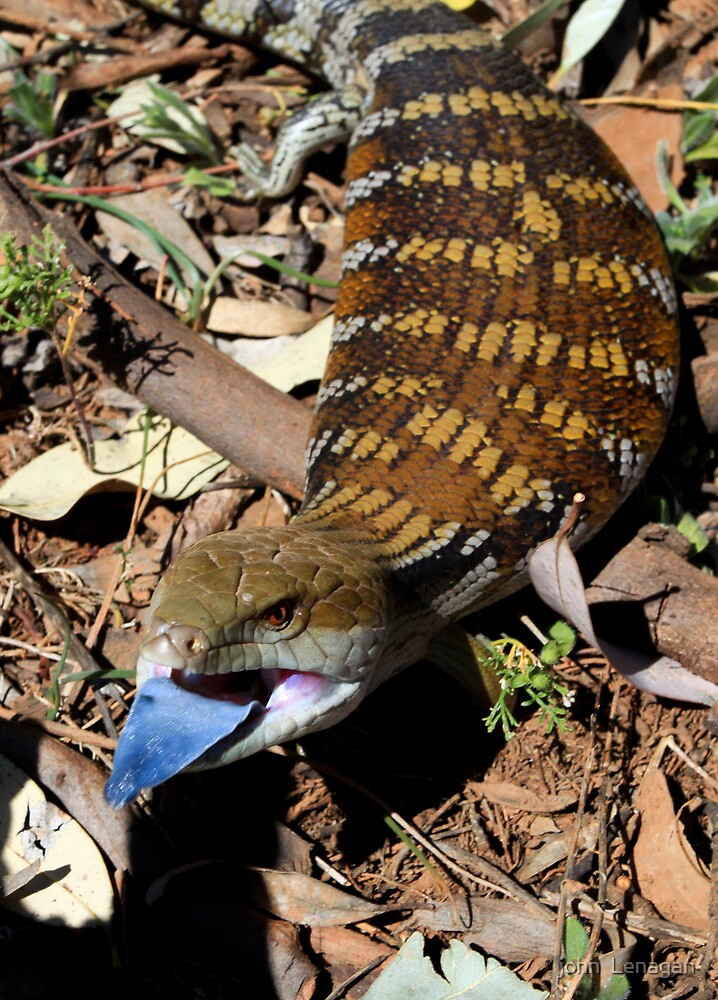 Eastern Blue Tongue by john  Lenagan