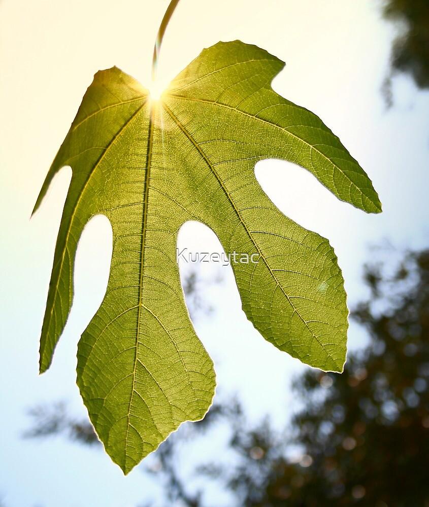Mediterranean Fig Leaf  by Kuzeytac