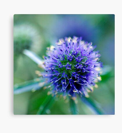 Blue thistle ball Canvas Print
