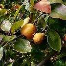 Pears by Jess Meacham