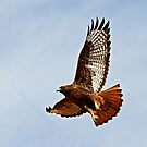 102012 Dark Morphed Red Tailed Hawk by Marvin Collins