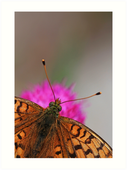 Lesser Spotted Fritillary butterfly  by PhotoStock-Isra
