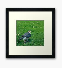Sparrowhawk male with feathers Framed Print