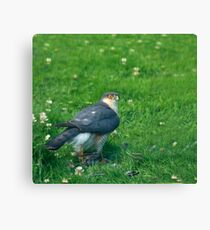 Sparrowhawk male with feathers Canvas Print