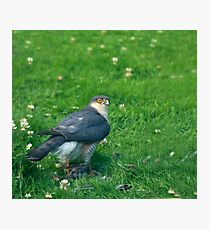 Sparrowhawk male with feathers Photographic Print