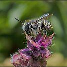 Carpenter Bee by Helenvandy